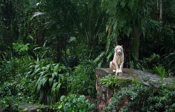 Picture white tiger, zoo, Singapore