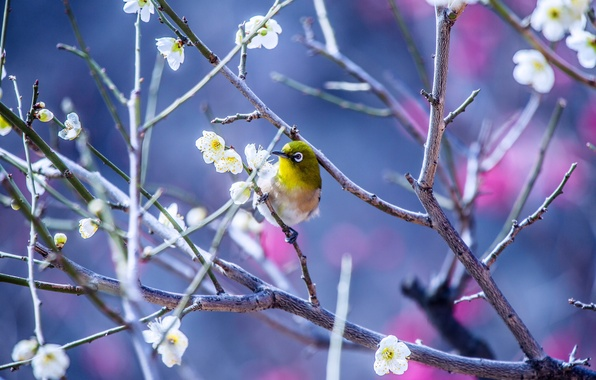 Picture flowers, branches, nature, tree, bird, spring, Japanese white-eye