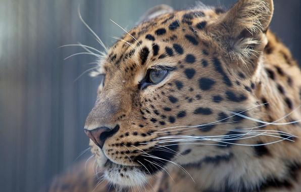 Picture mustache, look, face, background, Wallpaper, leopard, profile