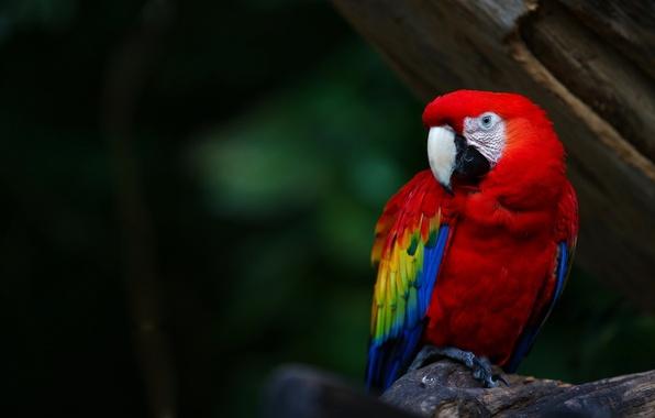 Picture color, bird, feathers, beak, parrot, bright, parrot, colours, Ara, ara
