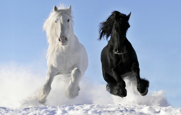 Picture white, snow, horses, horse, running, gallop, crow, © Viktoria Makarova