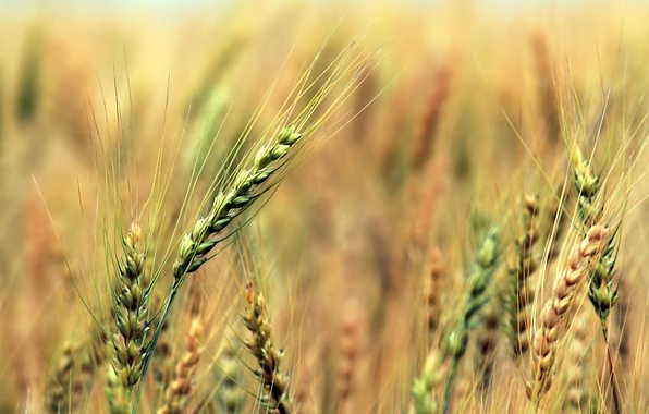 Picture field, rye, harvest, ears, cereals