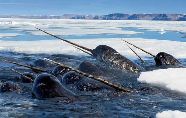 Picture SEA, The OCEAN, ICE, PACK, DOLPHIN, NARWHAL, PROCESS, TOOTH, UNICORN