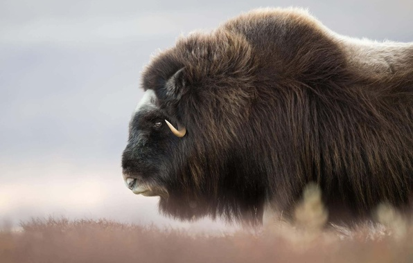 Picture face, wool, horns, musk ox