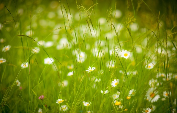 Picture summer, grass, chamomile