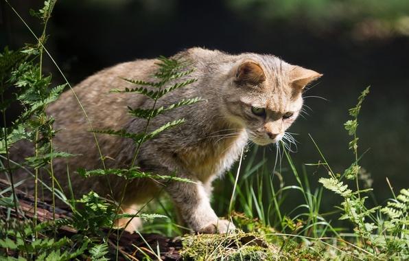 Picture predator, wild cat, hunter, sneaks