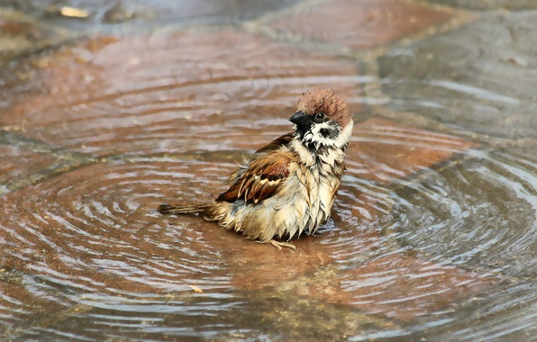 Picture water, wet, bird, puddle, bathing, Sparrow