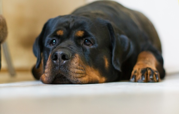 Picture sadness, look, dog, Rottweiler