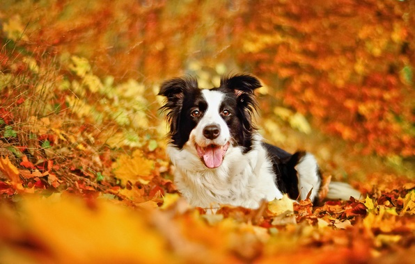 Picture autumn, leaves, dog, bokeh, The border collie