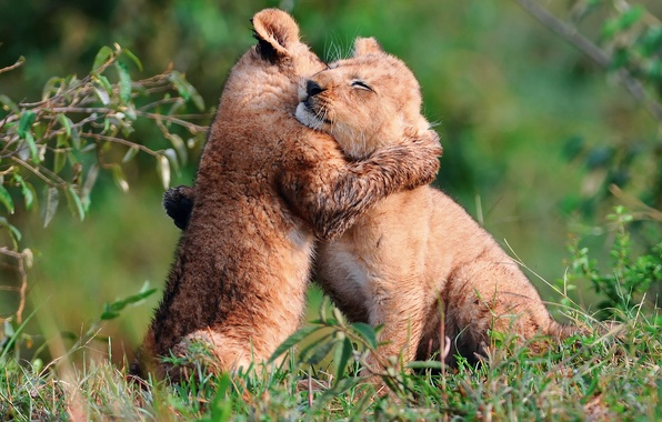 Picture small, lions, the cubs, play, кршки, hugs