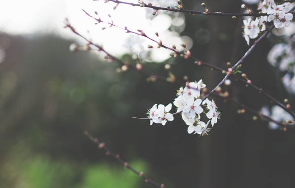 Picture greens, the sky, macro, trees, flowers, branches, nature, cherry, branch, branch, spring, petals, blur, white, ...
