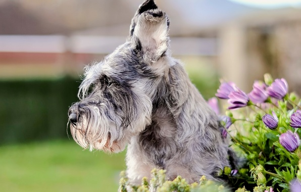 Picture face, flowers, portrait, dog, ears, The miniature Schnauzer, Schnauzer