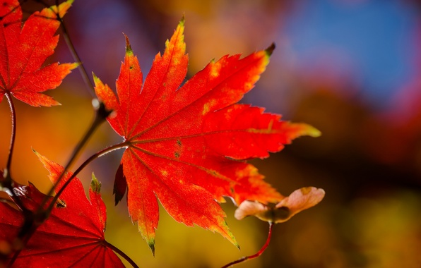 Picture leaves, macro, branch, red, maple, autumn