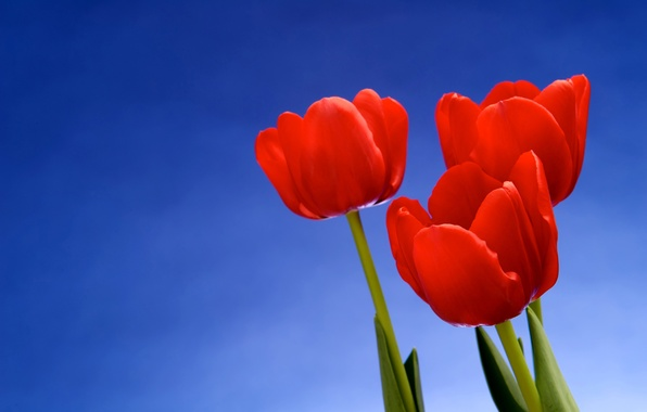 Picture macro, flowers, background, tulips
