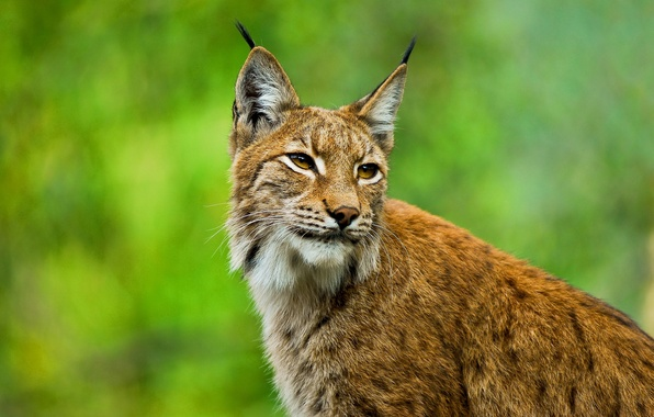 """Picture look, face, ears, wild cat, brush, Lynx, sideburns"""", European"""