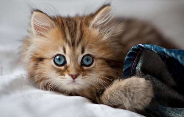 Picture cat, eyes, eyes, cat, blue eyes, kitty, cute, paws