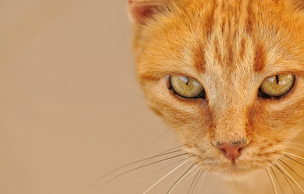 Picture cat, eyes, cat, mustache, look, portrait, muzzle, red, red cat
