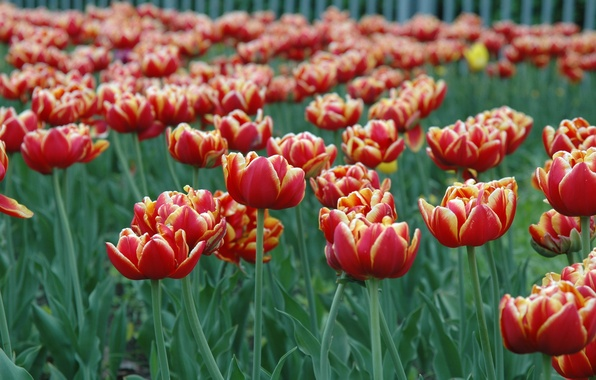 Picture flower, spring, may, tulips