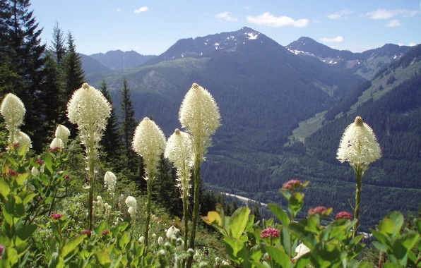 Picture forest, flowers, mountains, Washington State, Moon flowers on Bear Grass, Snoqualmie Mountains
