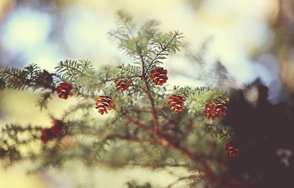 Picture needles, nature, spruce, focus, branch, needles, bumps, bokeh