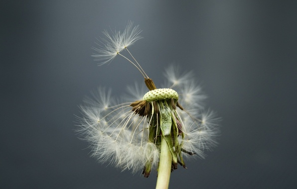 Photo wallpaper flower, dandelion, the wind