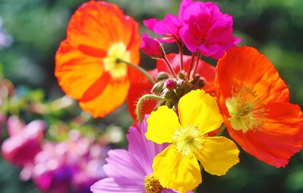 Picture flowers, nature, paint, Maki, petals