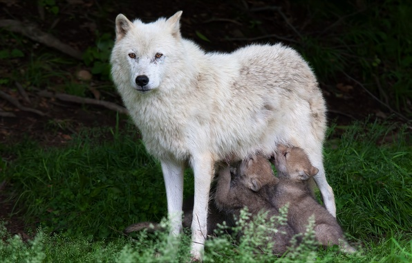 Picture animals, nature, wolves, the cubs, wolf, animals, nature, wolves
