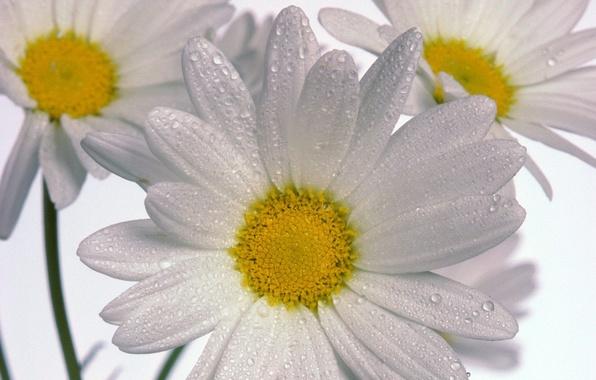 Picture Chamomile, three, white background