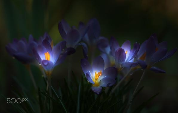 Picture light, flowers, darkness, crocuses, tarnish
