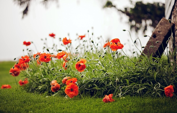 Picture greens, field, summer, grass, flowers, nature, Maki, red