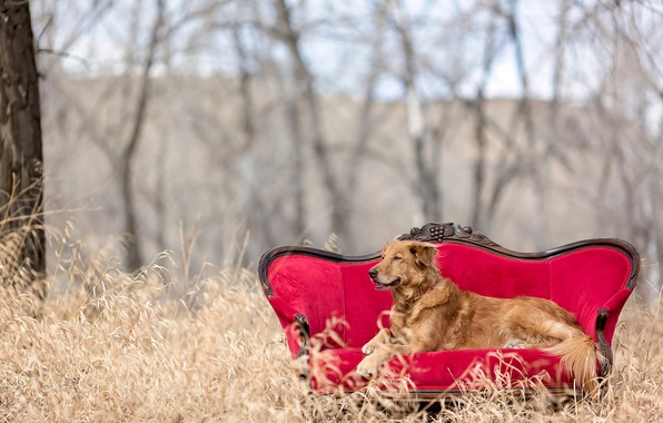Picture nature, sofa, red chair, golden retriever