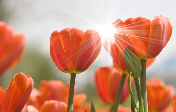 Picture flower, flowers, nature, tulips, Blik, buds, flowers