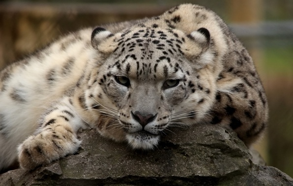 Picture look, face, stay, predator, IRBIS, snow leopard