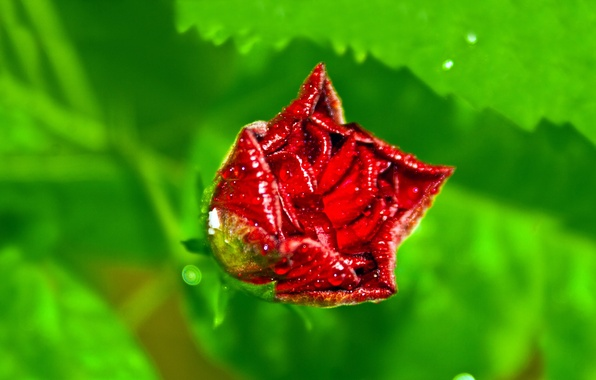 Picture BACKGROUND, PETALS, ROSA, DROPS, RED, GREEN, MACRO, ROSE