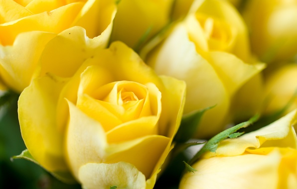 Picture macro, flowers, roses, yellow, buds