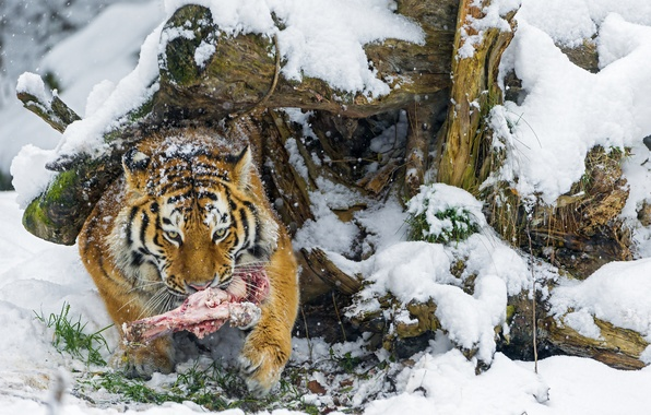 Picture winter, snow, predator, bone, big cat, the Amur tiger