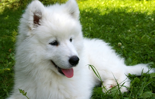 Picture grass, puppy, Samoyed