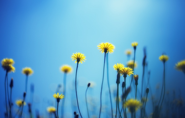Picture flowers, yellow, background, blue, widescreen, Wallpaper, wallpaper, flowers, widescreen, background, full screen, HD wallpapers, widescreen, …