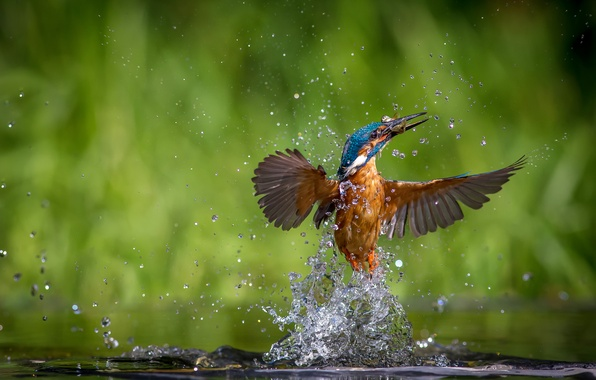 Picture water, drops, squirt, bird, fish, kingfisher, alcedo atthis, common Kingfisher, catch