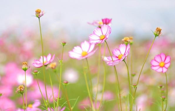 Picture flower, summer, the sky, flowers, freshness, tenderness, beauty, petals, stem, petal, flowers, flowering, widescreen Wallpaper, …