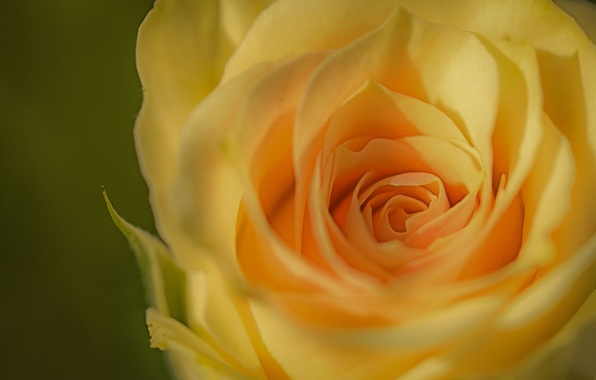 Picture macro, rose, Bud, yellow, yellow rose