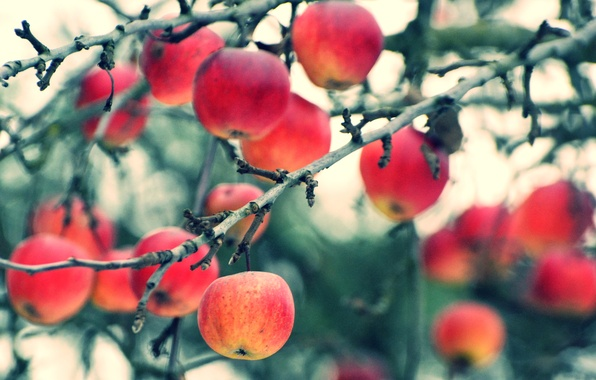 Picture autumn, branches, apples, harvest, fruit