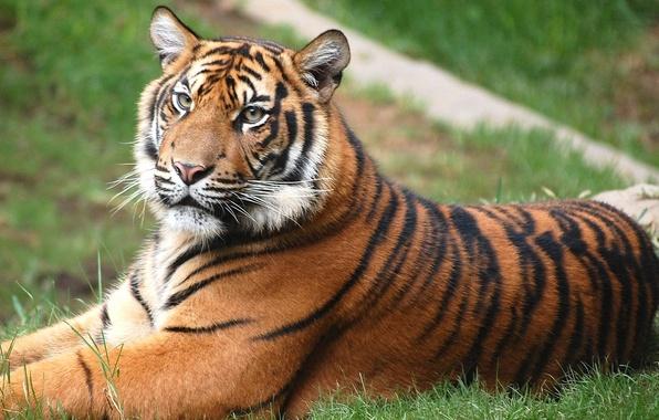 Picture Tiger, lies, lawn