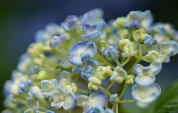 Picture macro, flowers, white, buds, lilac, hydrangea
