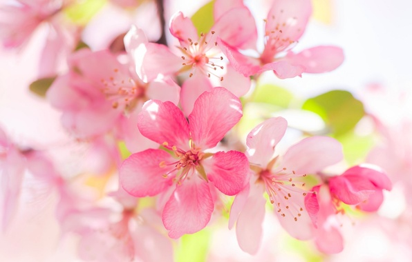 Picture macro, Apple, flowering, flowers