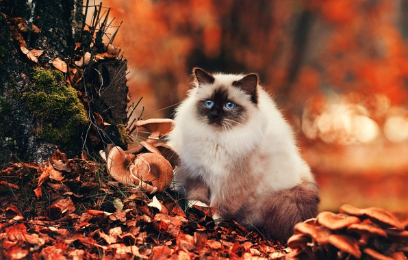 Picture autumn, cat, eyes, look, nature, foliage, mushrooms, Cat, blue, bokeh, fluffy