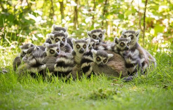 Picture grass, lemurs, family