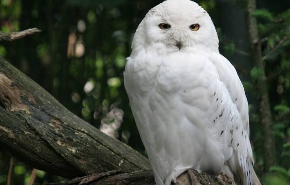 Picture forest, tree, bird, white, Snowy owl