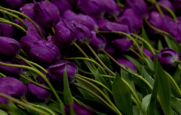 Picture water, drops, flowers, stems, Tulips, purple, buds