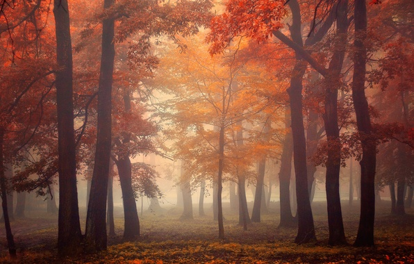 Picture autumn, forest, leaves, light, trees, fog, light, forest, trees, autumn, leaves, fog